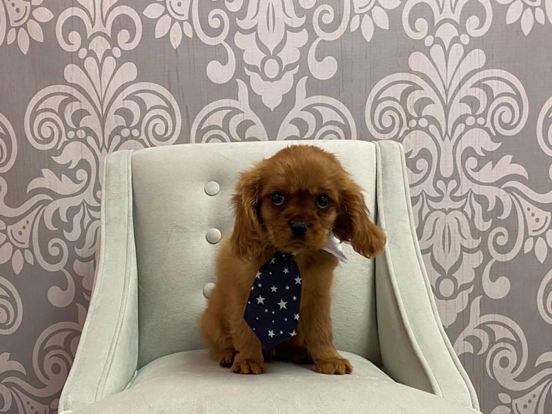 Cavalier King Charles Spaniel-Male-BLENHEIM-3265989-Furry Babies