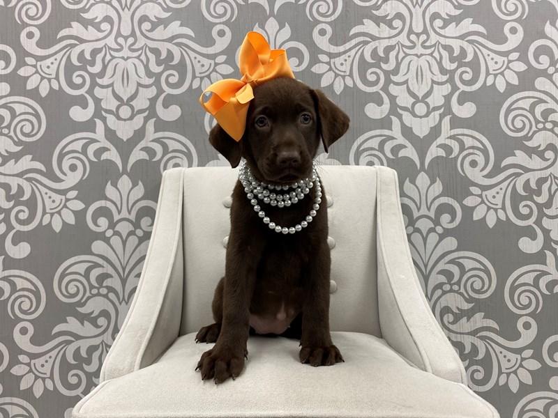 Labrador Retriever-Female-Chocolate-3266158-Furry Babies