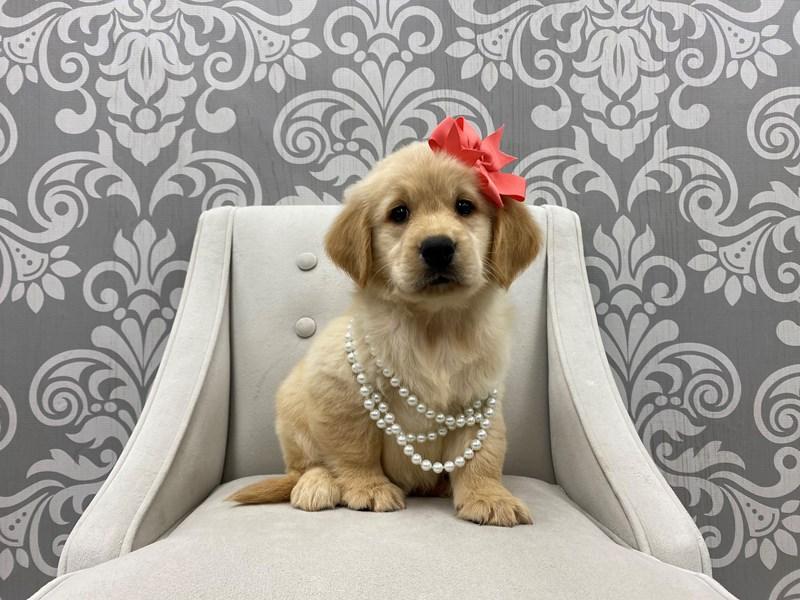 Golden Retriever-Female-Gold-3266135-Furry Babies