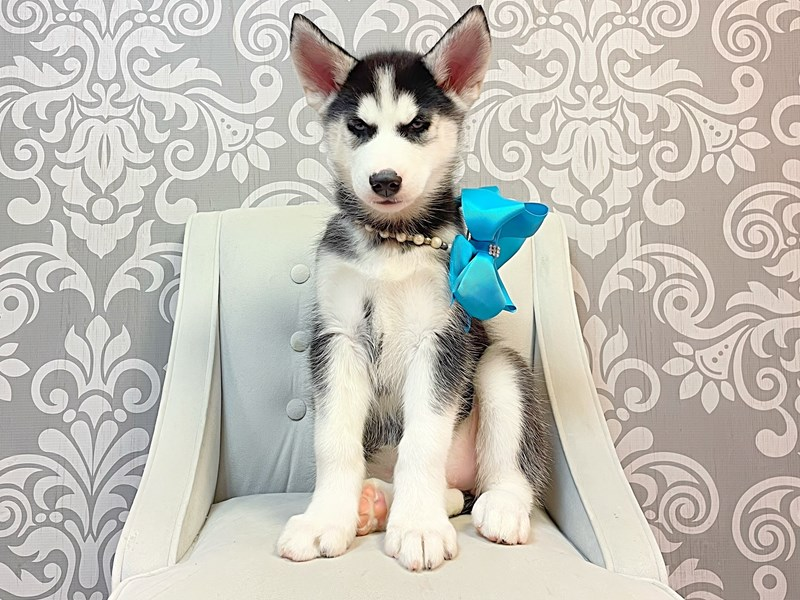 Siberian Husky-Female-Black & White-3266032-Furry Babies
