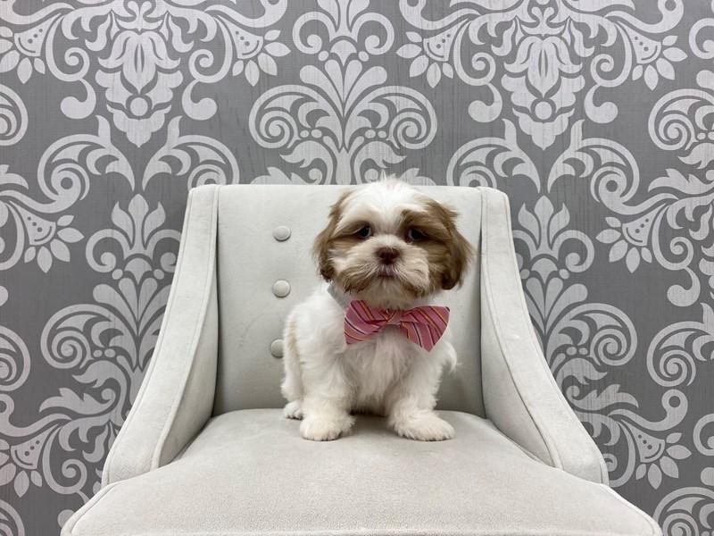 Shih Tzu-Male-Brown & White-3275400-Furry Babies