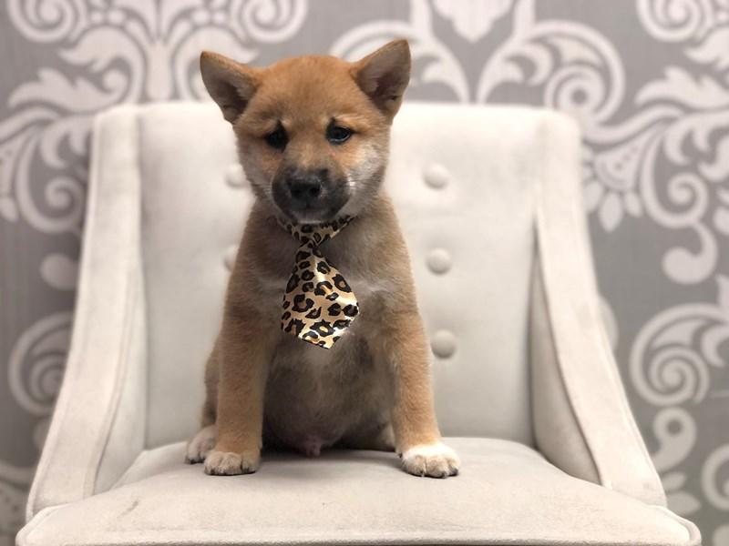Shiba Inu-Male-RED-3275335-Furry Babies