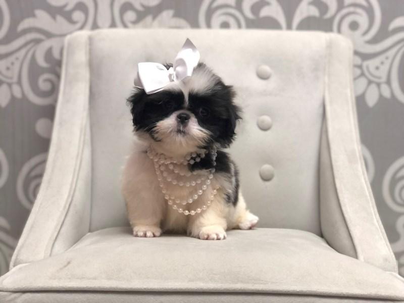 Shih Tzu-Female-BRINDLE WHITE-3275158-Furry Babies