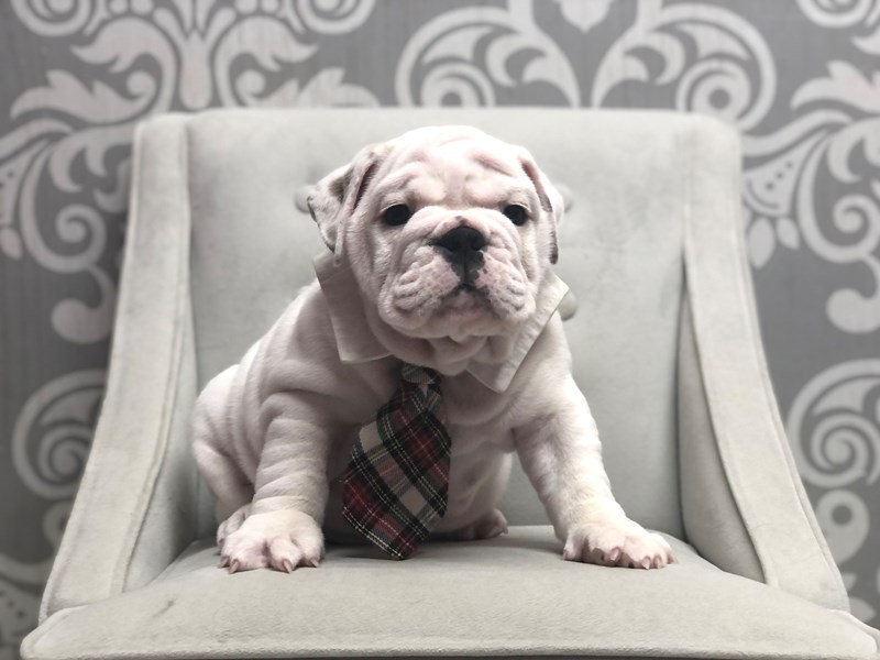 English Bulldog-Male-White-3286301-Furry Babies