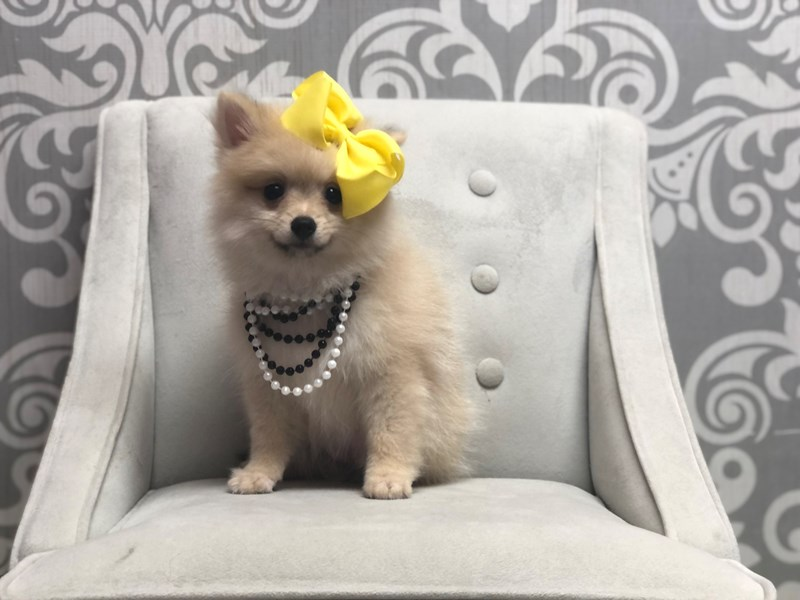 Pomeranian-Female-Cream Sbl-3286273-Furry Babies