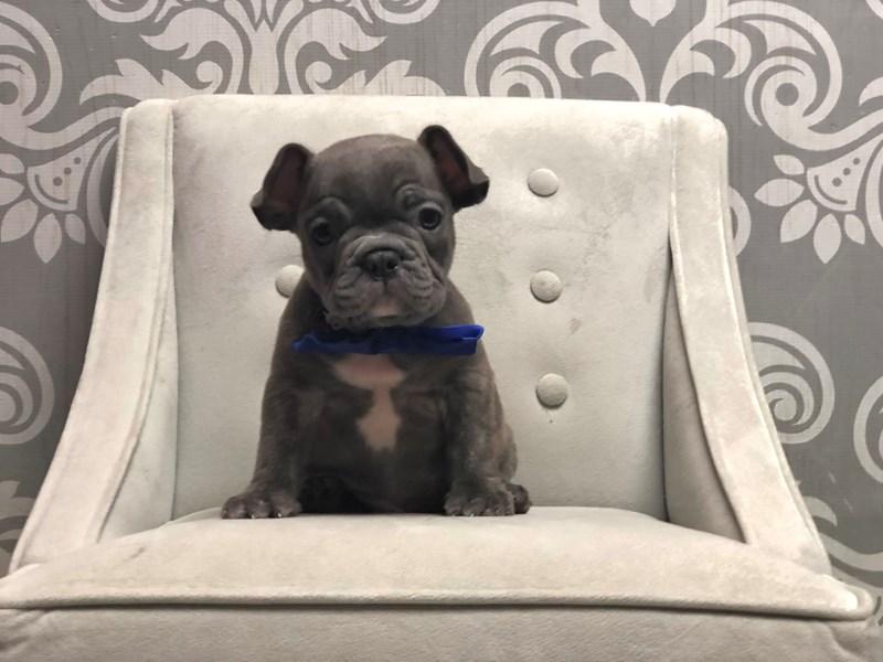 French Bulldog-Male-Bl Brdl-3294190-Furry Babies