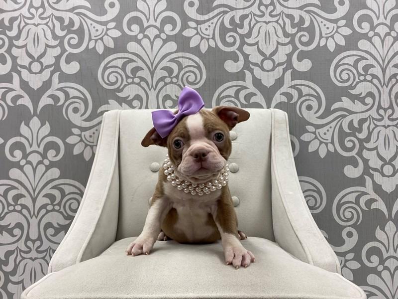 Boston Terrier-Female-Lilac-3294391-Furry Babies