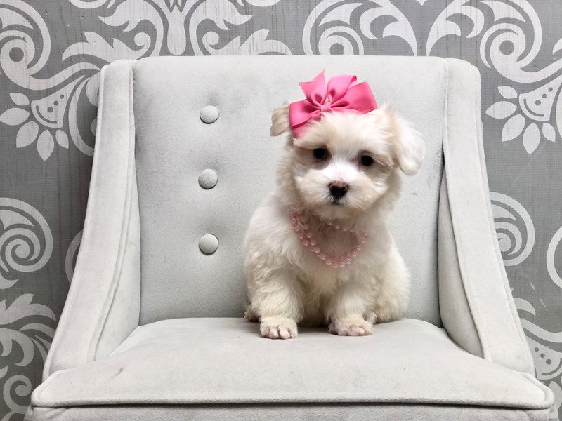 Maltese-Female-WHITE-3294756-Furry Babies