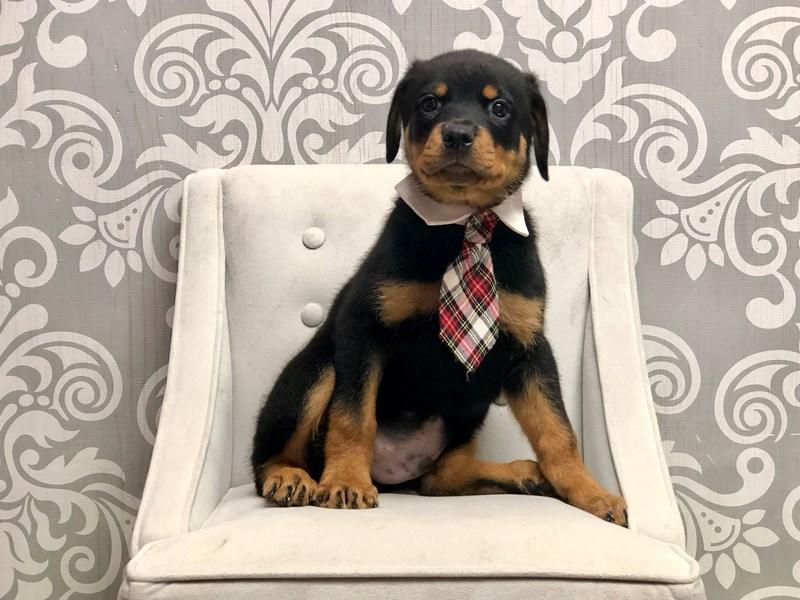 Rottweiler-Male-Black & Tan-3294547-Furry Babies