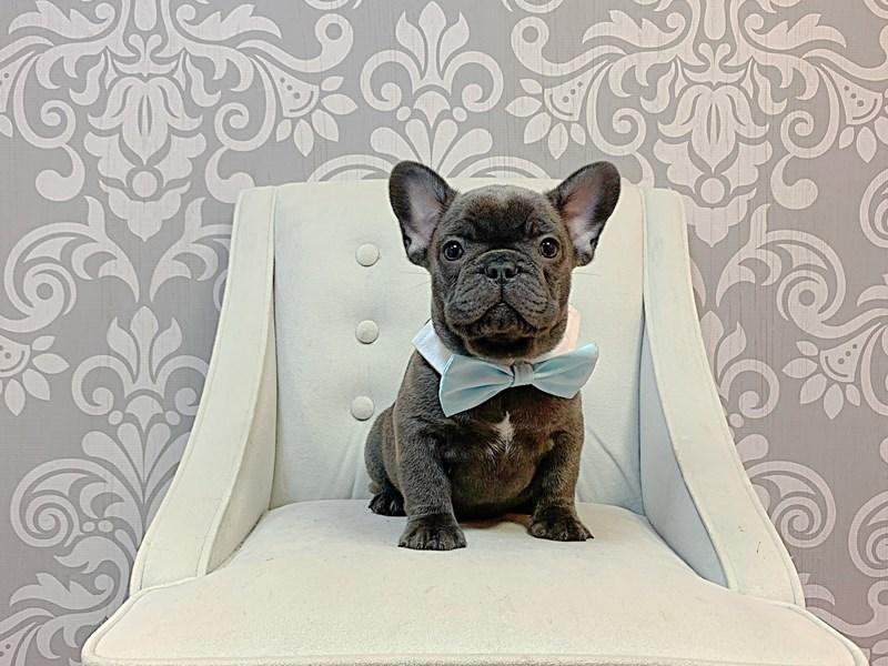 French Bulldog-Male-Blue-3305828-Furry Babies