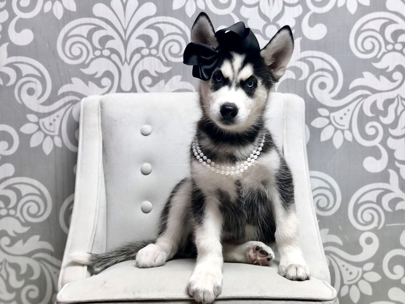 Siberian Husky-Female-Black & White-3302602-Furry Babies