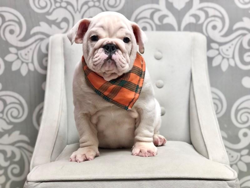 English Bulldog-Male-White-3305285-Furry Babies