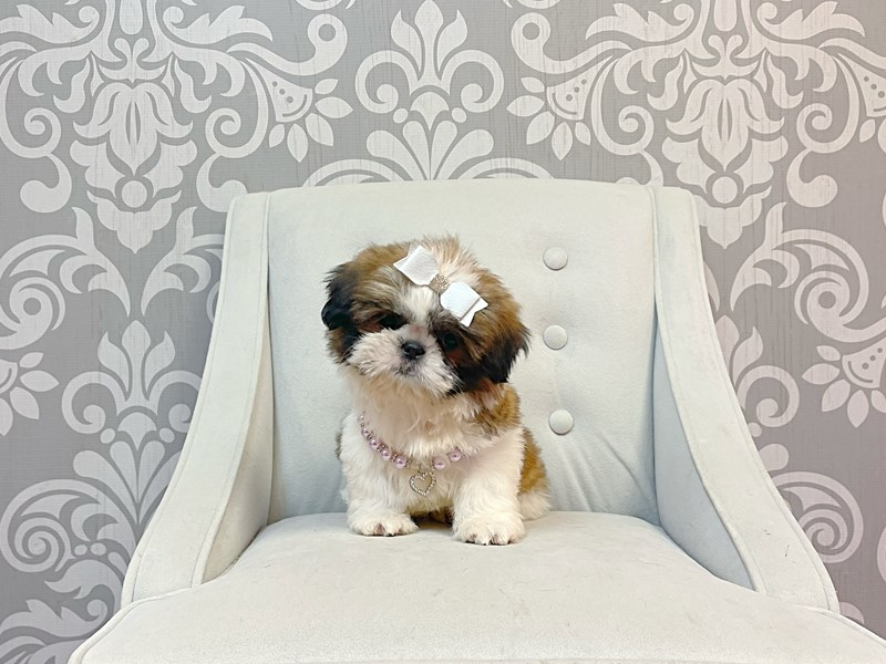 Shih Tzu-Female--3305834-Furry Babies