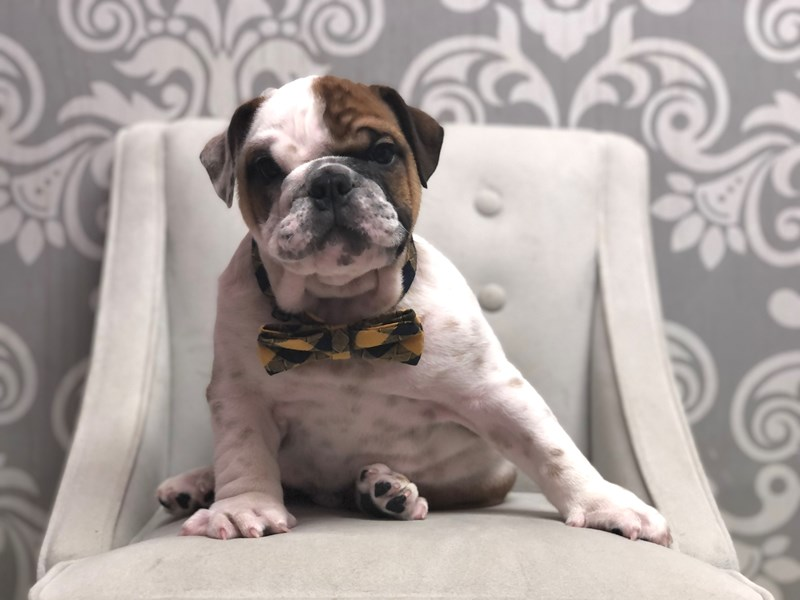 English Bulldog-Male-Red & White-3314197-Furry Babies