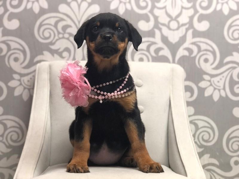 Rottweiler-Female-Black & Tan-3312039-Furry Babies