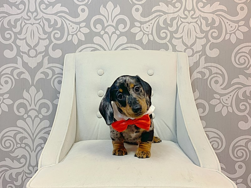 Dachshund-Male-RED-3302588-Furry Babies
