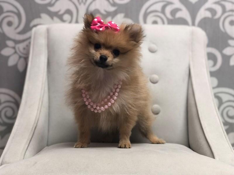 Pomeranian-Female-Orange-3305275-Furry Babies