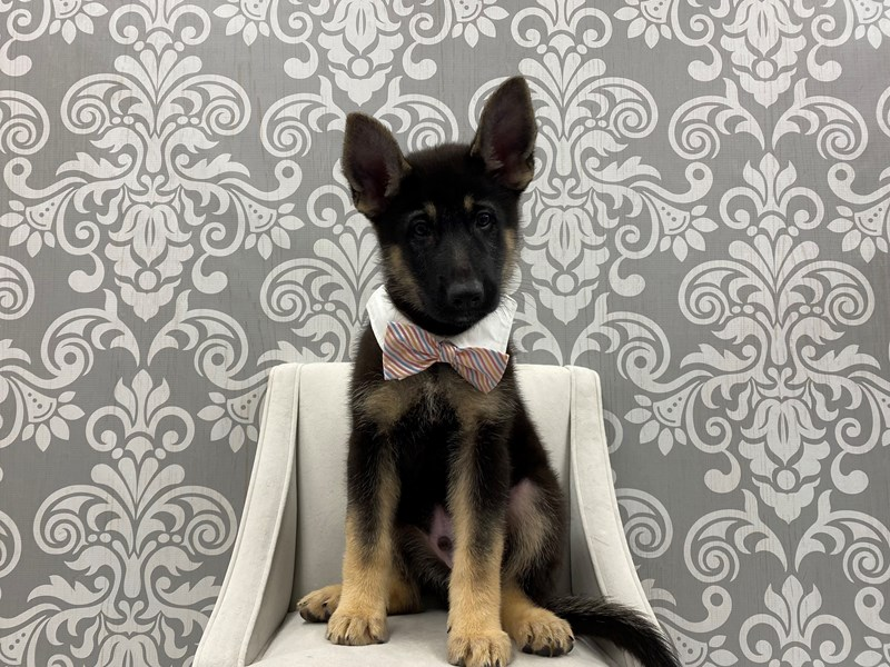 German Shepherd-Male-Black & Tan-3321033-Furry Babies