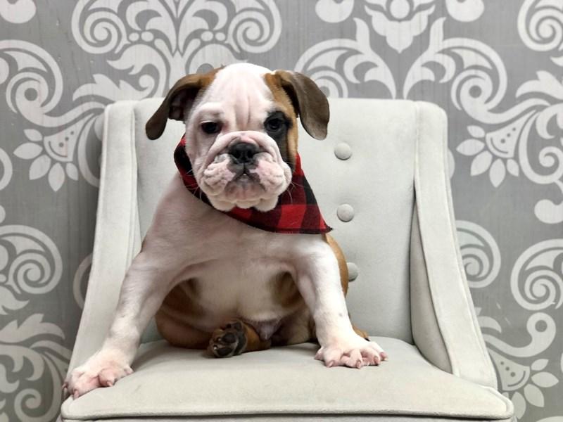 English Bulldog-Male-Red & White-3324263-Furry Babies