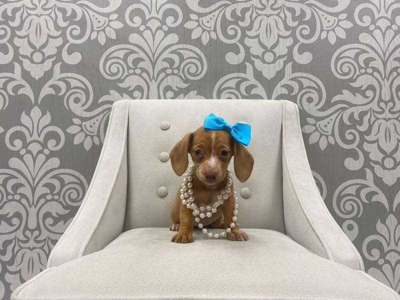 Dachshund-Female-Chocolate &Tan-3330057-Furry Babies