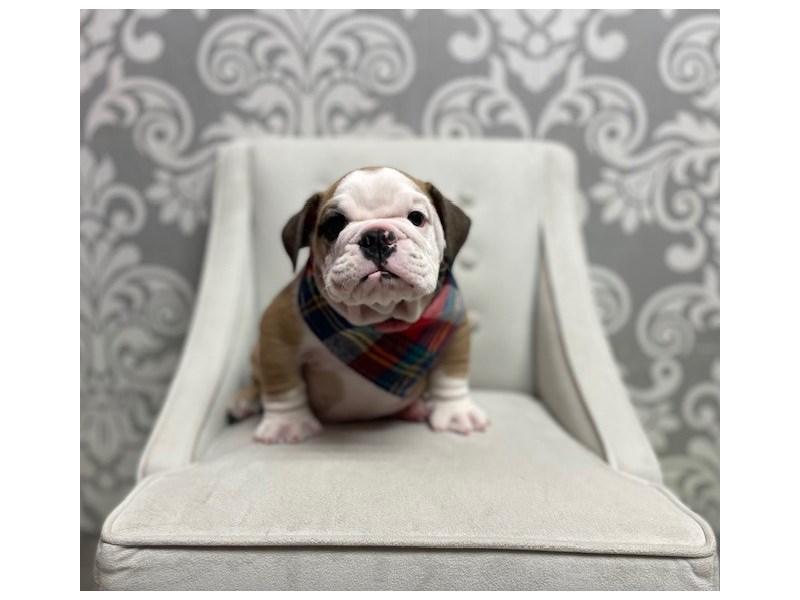 English Bulldog-Male-FAWN WH-3339673-Furry Babies