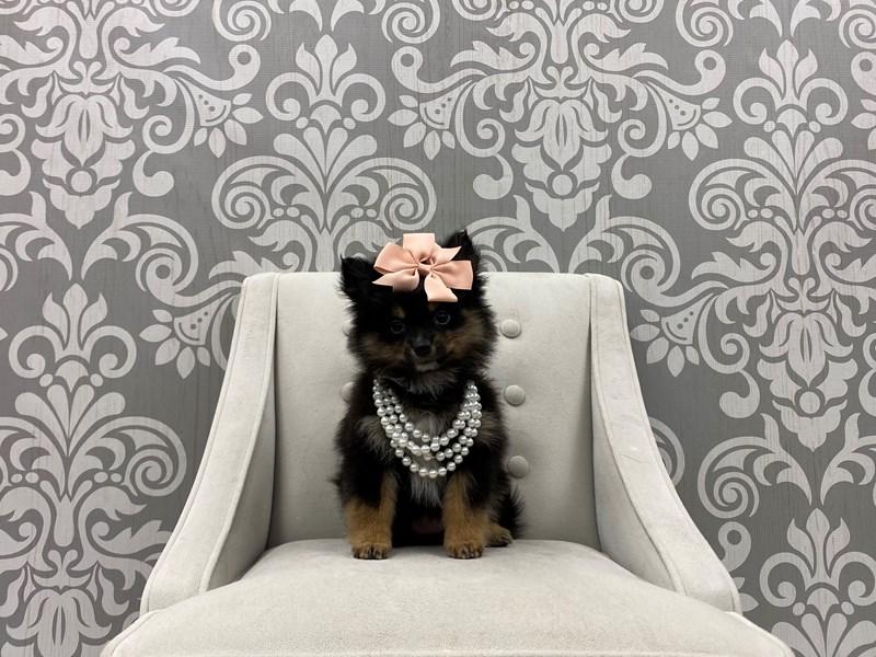 Pomeranian-Female-Black & Tan-3339571-Furry Babies