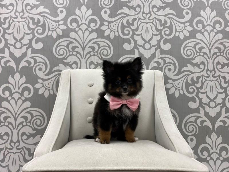 Pomeranian-Male-Black & Tan-3339572-Furry Babies